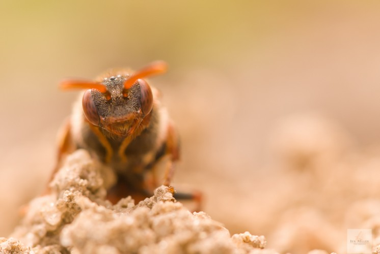 Rote Wespenbiene